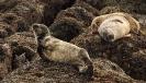 Die Seehunde