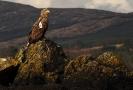 Adler in Irland