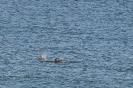 Dolphins in Cleggan Bay